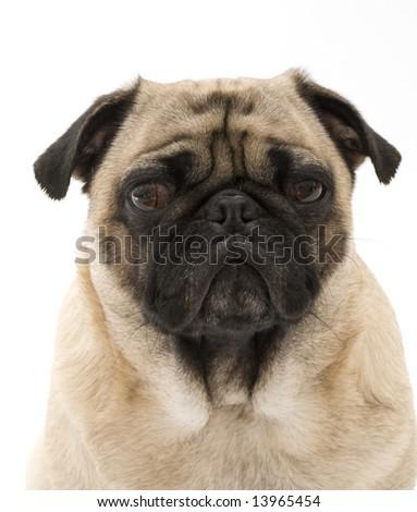 Wise Pug - stock photo