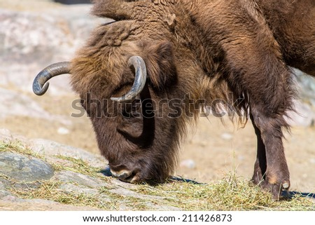 Wisent (European bison) eating grass from the rock - stock photo