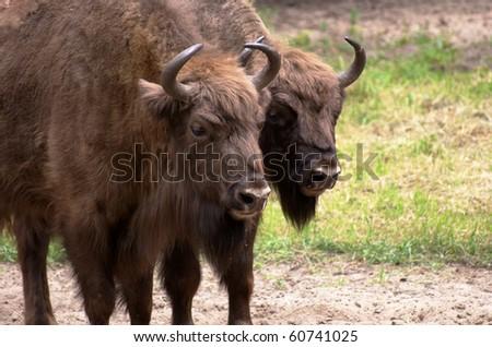 Wisent, European bison, Poland - stock photo