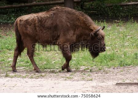 Wisent, European bison Poland - stock photo