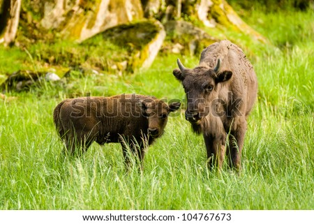 Wisent male calf and his mother - stock photo