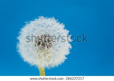 Wish flower fresh spring dandelion with blue background. Studio shot.  - stock photo
