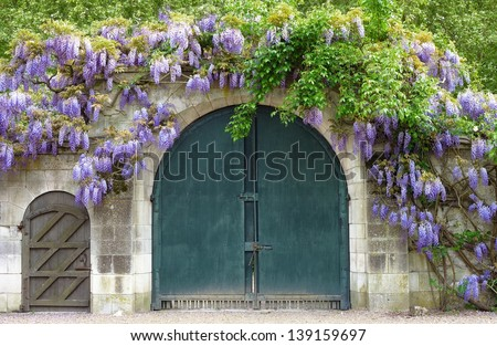 Wisteria covered gate - stock photo