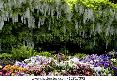 Wisteria provide a perfect backdrop to the pansy's in the foreground at the Biltmore gardens, North Carolina - stock photo