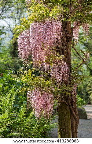 Wisteria sinensis (Chinese wisteria), Glicina tree flowers,  - stock photo