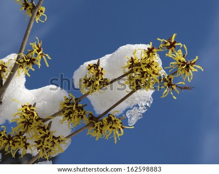 Witch Hazel in winter, Hamamelis hybrid in Winter, Germany - stock photo