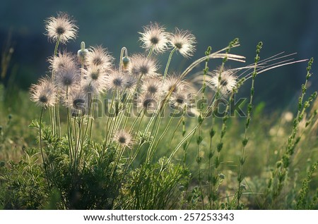 Withered flowers on a sunny meadow. Beautiful dandelion in the sunlight. Anemone pratensis - stock photo