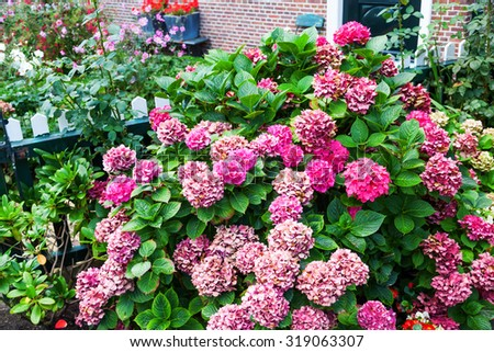 withered hydrangea bush in a front yard - stock photo