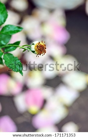Withered Rose in the green garden faded background - stock photo