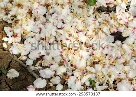 Withered rose petals of almond trees after flowering on orchard ground. - stock photo