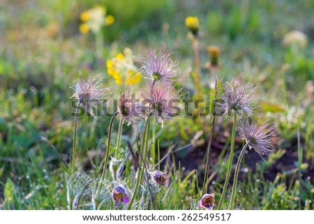 Withering Pasque flower in the meadow - stock photo