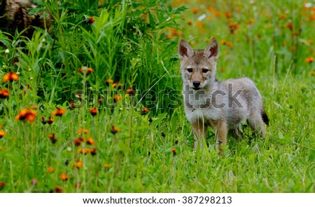Wold Pup stands in field of green grass and orange wildflowers. - stock photo