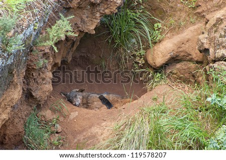 wolf and cub sleeping in a cave - stock photo