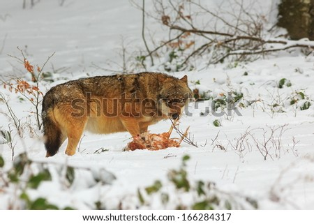 wolf and his prey - stock photo