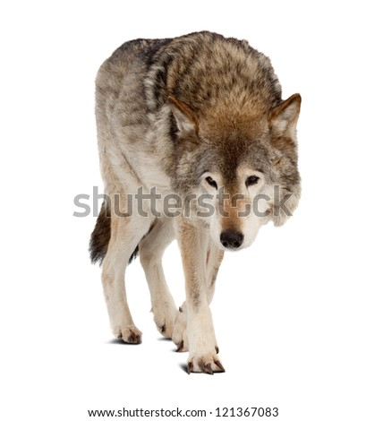 wolf (Canis lupus). Isolated over white background with shade - stock photo