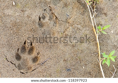 Wolf, Canis lupus, paw foot prints track in soft mud and green willow leaves - stock photo