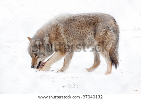 wolf eating meat on the snow - stock photo