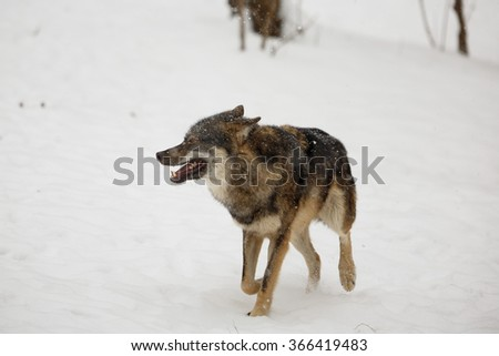 Wolf goes through snowy landscape - stock photo