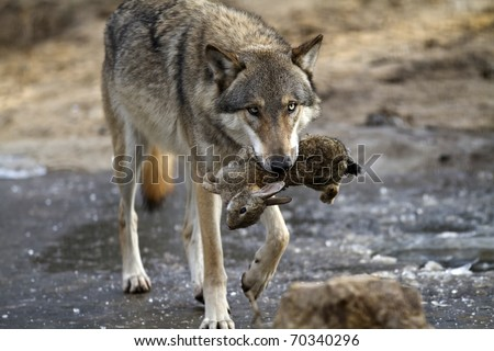 Wolf hunting - stock photo