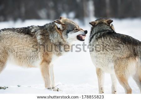 Wolf iin the cold snow. - stock photo