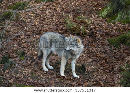 wolf in a forest - stock photo