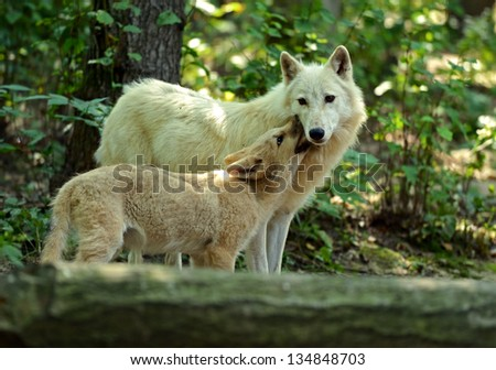 Wolf cub stock photos illustrations and vector art