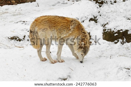 Wolf in snow - stock photo