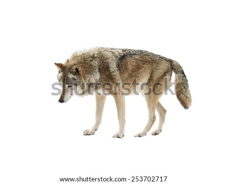 Wolf isolated on white background - stock photo