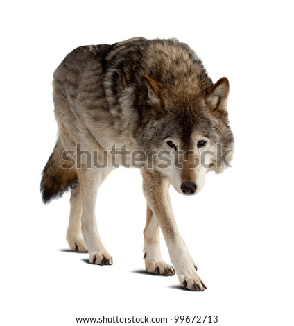 wolf. Isolated over white background with shade - stock photo