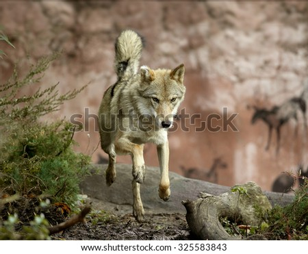 wolf jumping in the forest - stock photo