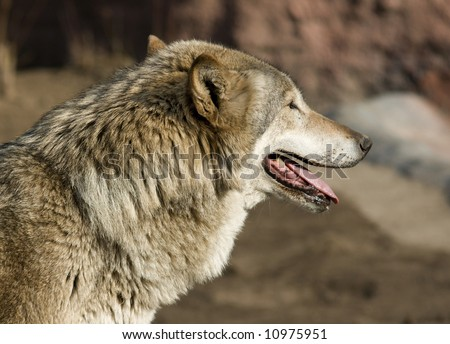Wolf looking forward - stock photo