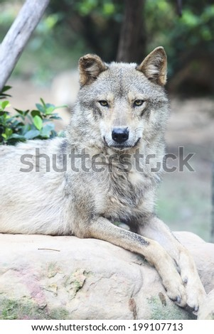wolf lying on front and stare - stock photo