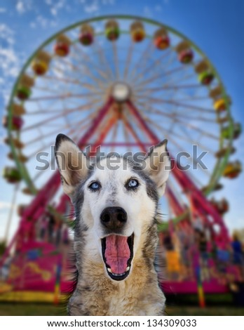wolf mix making a funny face in front of a ferris wheel - stock photo