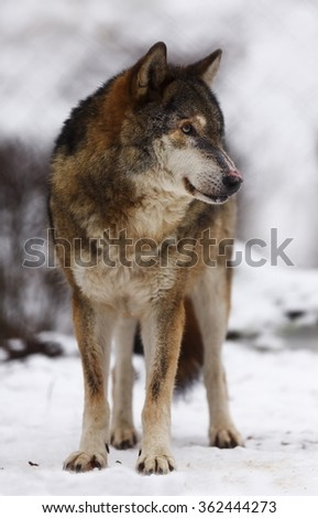 wolf on the snow - stock photo