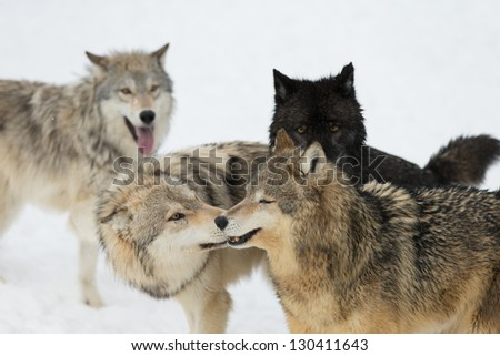 Wolf pack interaction on snow covered field - stock photo