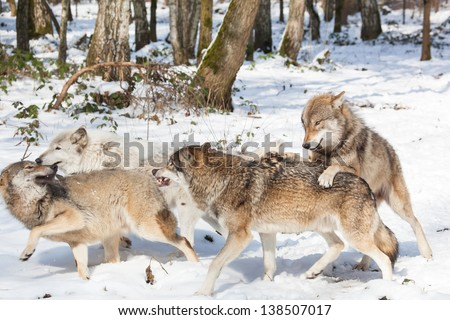 wolf pack of four fighting timber wolves in snowy white winter forest - stock photo