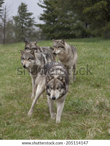 Wolf Pack, soft focus - stock photo