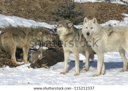 Wolf pack with their kill - stock photo