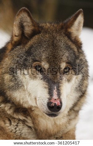 wolf portrait close up - stock photo