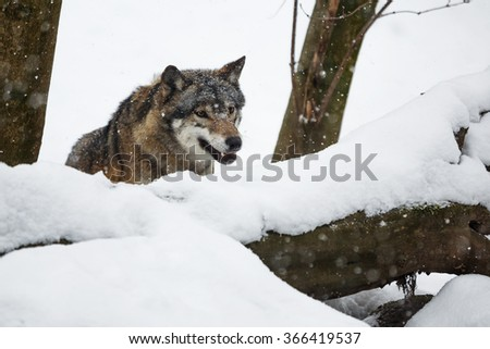 wolf prowling for prey in a snowy landscape - stock photo