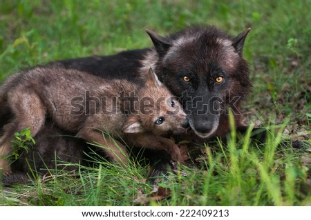 Wolf Pup (Canis lupus) Licks Mother Begging for Food - captive animals - stock photo