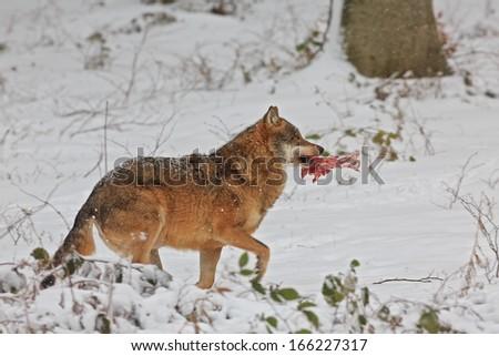wolf runs away with prey - stock photo