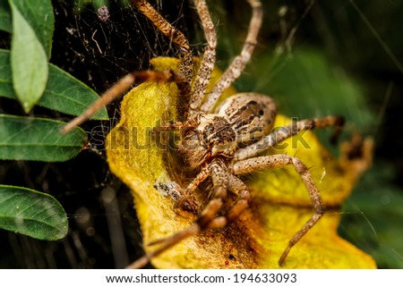 Wolf spider is resting on the net - stock photo