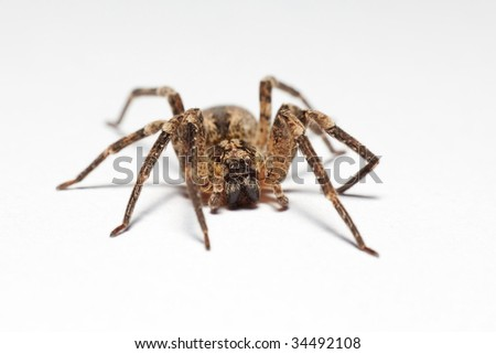 Wolf spider (Lycosidae) isolated on white background, macro, shallow DOF - stock photo