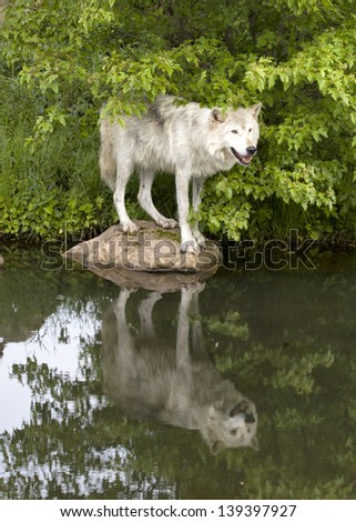 Wolf Standing on Rock with Reflection - stock photo