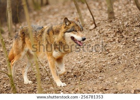 Wolf walking in the forrest on the brown ground - stock photo