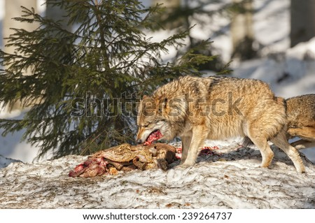 wolf while eating in the snow background - stock photo