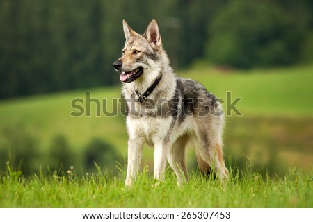 Wolfdog in the meadow - stock photo