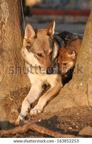 Wolfdog mother with its puppy between two trees - stock photo