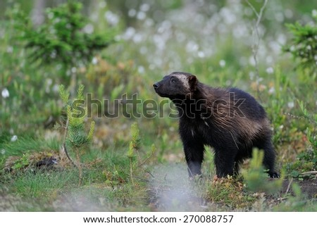 Wolverine in forest - stock photo